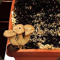 Bio_Krauterseitlinge_Zuechten_Pilzkultur_Zuchtanleitung_selbstanbau_Schimmel_Koenigsausternpilz_Die_Pilzmanufaktur