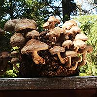 Shiitake_kaufen_Pilze_selber_zuechten_Shiitakezucht_Die_Pilzmanufaktur