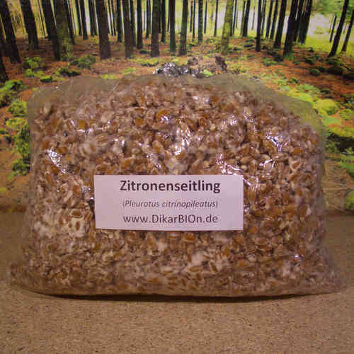 Zitronenseitling Pilzbrut - 1 L